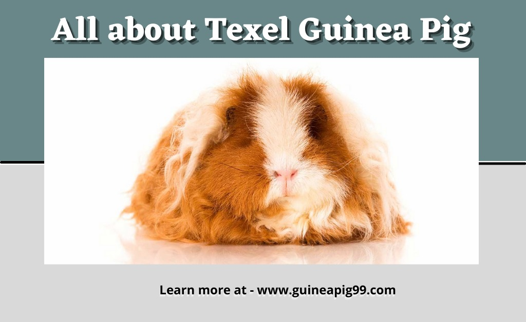All About Texel Guinea Pig