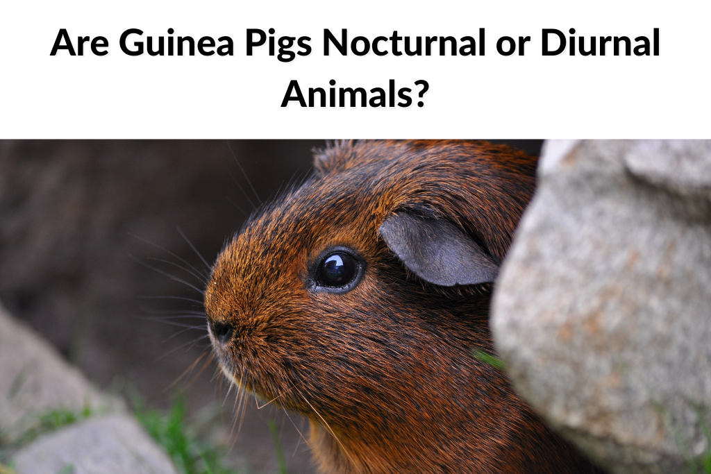 Are Guinea Pigs Nocturnal or Diurnal Animals