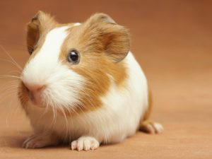 Read more about the article Can Guinea Pigs Eat Bananas?   Ultimate Guide 2021