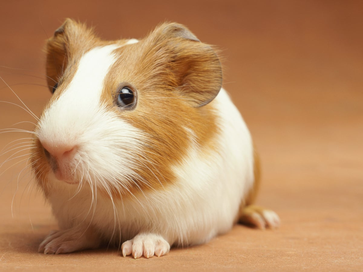 Read more about the article Can Guinea Pigs Eat Bananas? | Ultimate Guide 2021