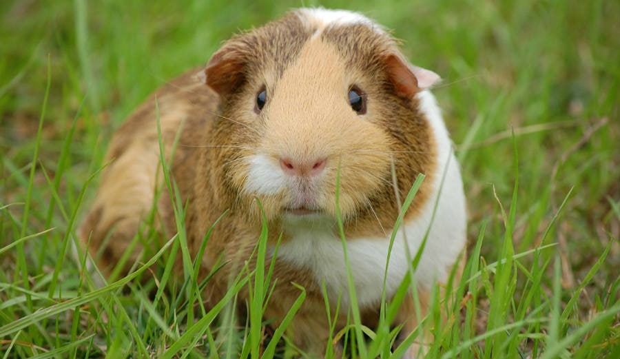 Read more about the article Can Guinea Pigs Eat Pineapple?
