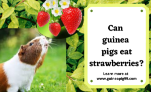 Read more about the article Can guinea pigs eat strawberries? Complete Study [Risks, Serving Size & More-2021]