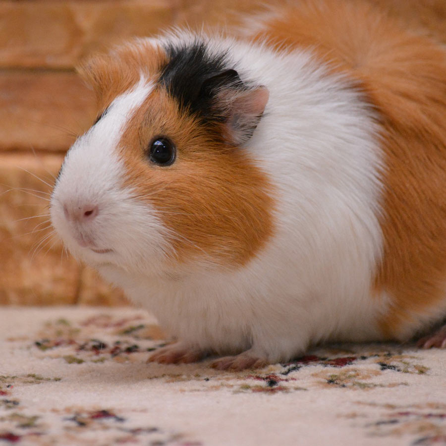 Read more about the article Can guinea pigs eat cabbage?