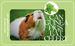 Read more about the article Can guinea pigs eat celery?
