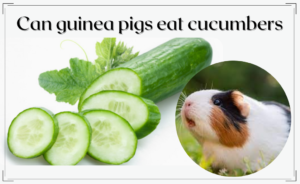 Read more about the article Can guinea pigs eat cucumbers?