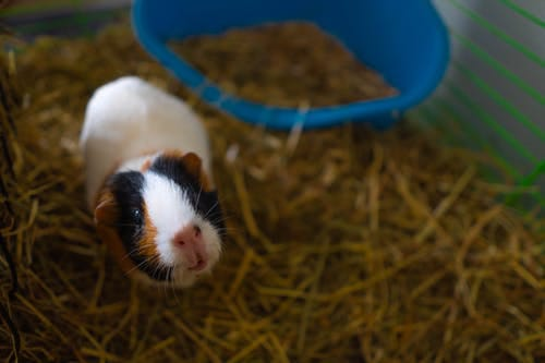 Guinea Pigs Ringworm Infection