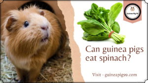Read more about the article Can guinea pigs eat spinach?