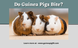 Read more about the article Do Guinea Pig Bite?