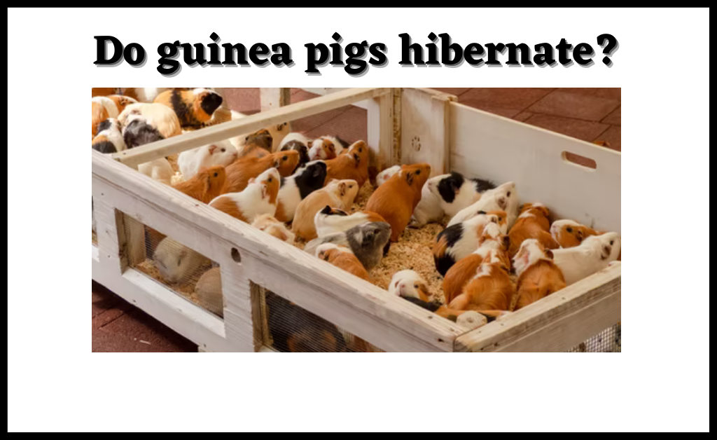Read more about the article Do guinea pigs hibernate?