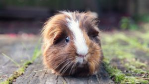 Read more about the article Everything to know about baby Guinea pigs!