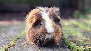 Read more about the article Guinea Pig Food List | Guinea Pig Food Items