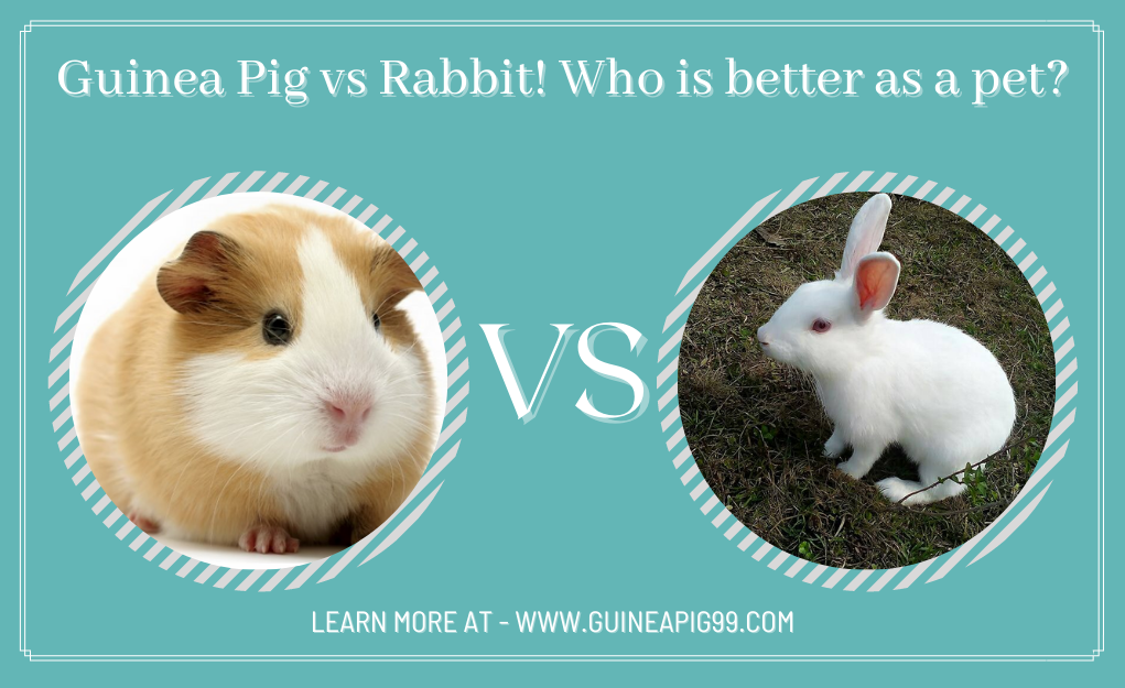 Read more about the article Guinea Pig vs Rabbit! Who is better as a pet?