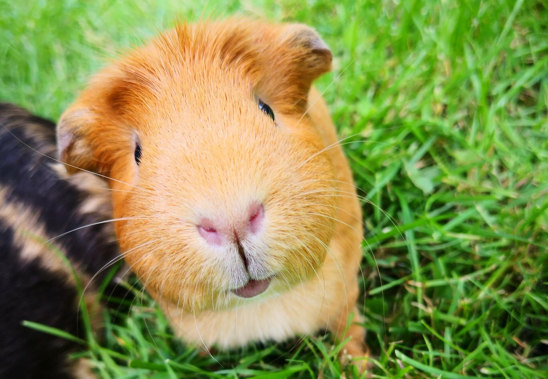 Read more about the article How long do guinea pigs live?
