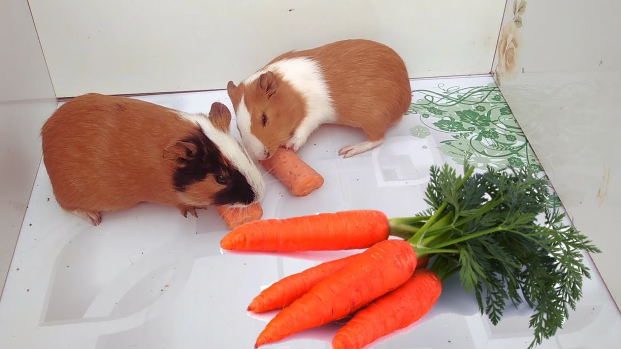 Read more about the article How many carrots can guinea pigs eat in a day!