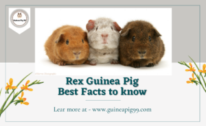 Read more about the article Rex Guinea Pig | Best Facts to know in 2021