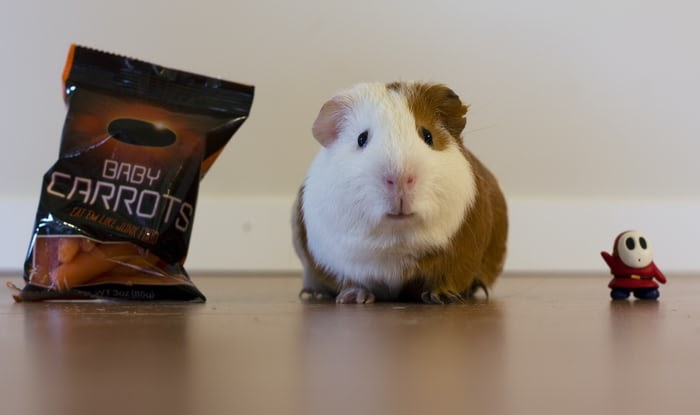 Read more about the article What do Guinea pigs eat?