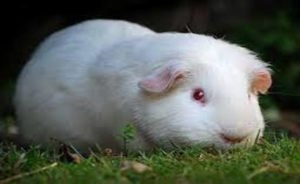 Read more about the article All to know about Albino guinea pigs
