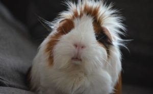 Read more about the article How to Treat Guinea Pig Bumblefoot? | Causes, Signs, and Treatment Plan (2021)