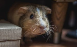 Read more about the article Can Guinea Pigs Eat Asparagus?