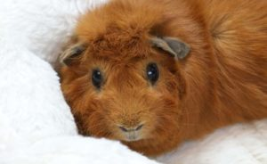 Read more about the article Can guinea pigs eat raspberries?
