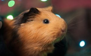 Read more about the article Can guinea pigs eat cauliflower?
