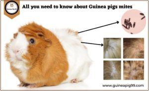 Read more about the article How Do I Treat My Guinea Pig For Mites? | Ultimate Guide for Guinea Pigs Mites 2021
