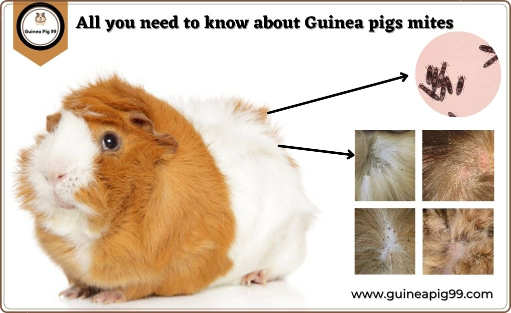 How Do I Treat My Guinea Pig For Mites? | Ultimate Guide for Guinea Pigs Mites 2021