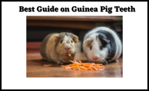 Read more about the article Best Guide on Guinea Pig Teeth   Cost of getting it trimmed in 2021