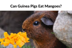 Read more about the article Can Guinea Pigs Eat Mangoes?