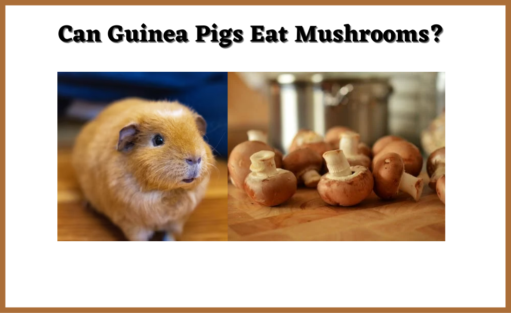 Read more about the article Can Guinea Pigs Eat Mushrooms? [Favorite Mushrooms, Risks, Serving Size and More-2021]