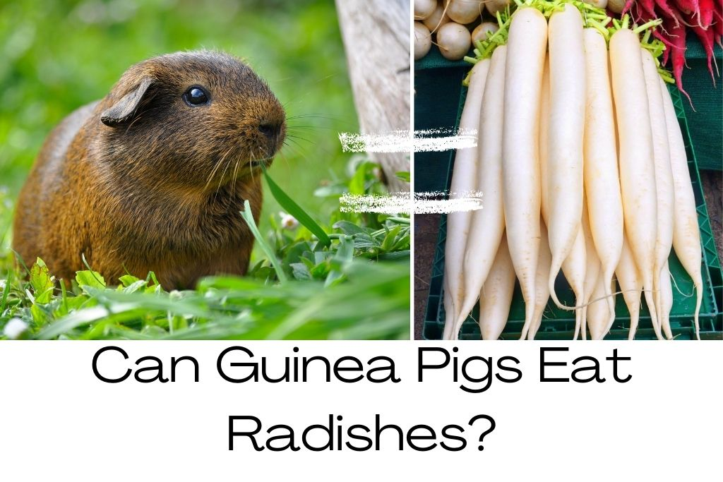 Read more about the article Can Guinea Pigs Eat Radishes?