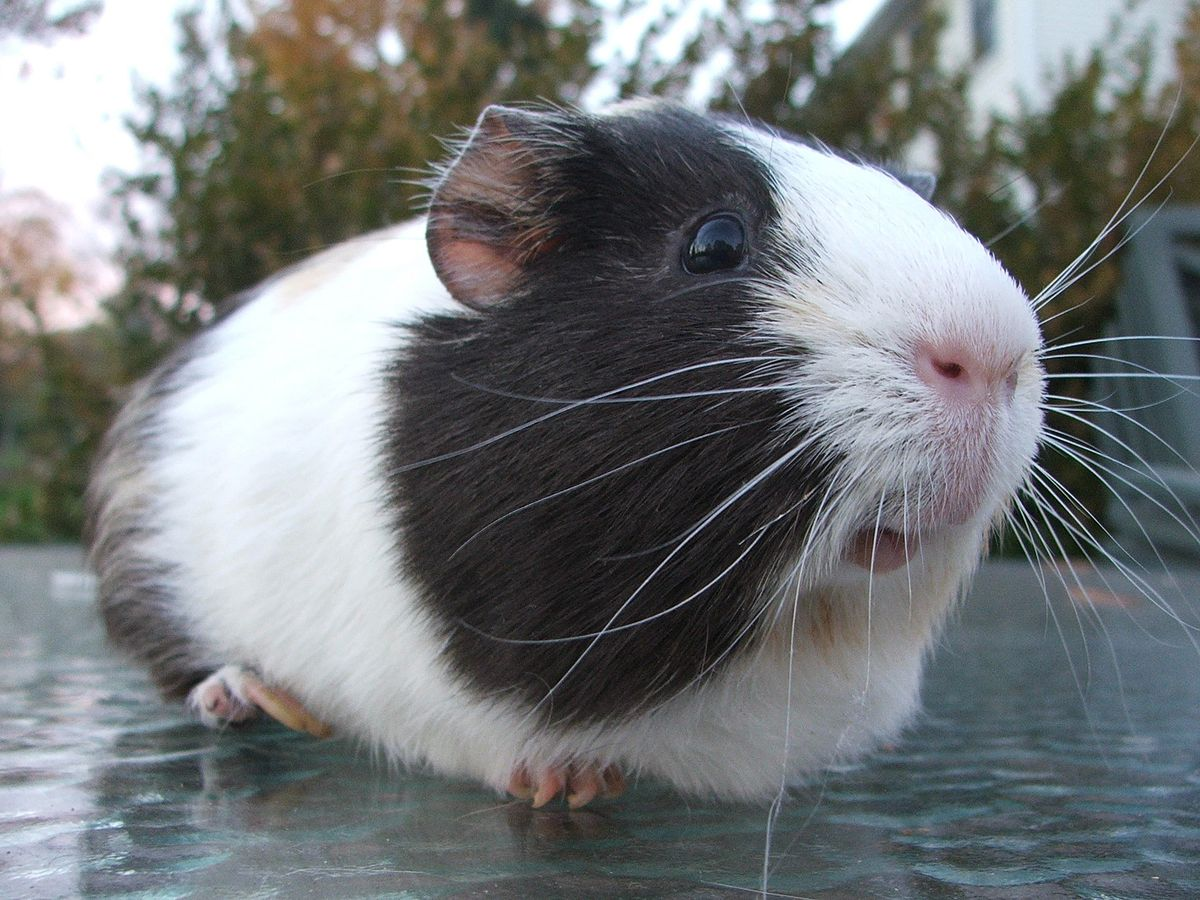 Read more about the article Can Guinea Pigs Eat Zucchini? (Benefits, Serving Size & More)