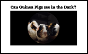 Read more about the article Can Guinea Pigs see in the Dark? Ultimate Guide 2021