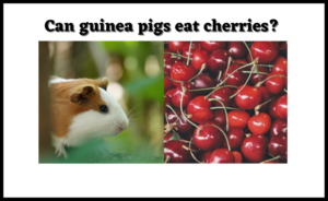 Read more about the article Can guinea pigs eat cherries? [Ultimate Guide with Little Known Tips 2021]