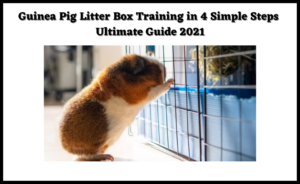 Read more about the article Guinea Pig Litter Box Training in 4 Simple Steps | Ultimate Guide 2021