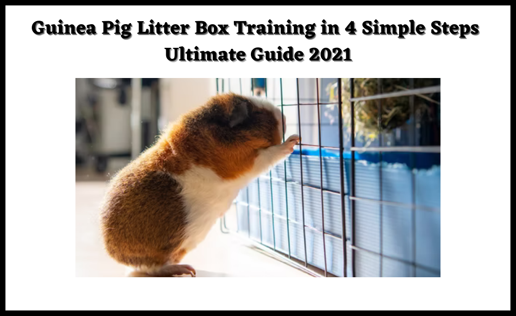 Read more about the article Guinea Pig Litter Box Training in 4 Simple Steps   Ultimate Guide 2021