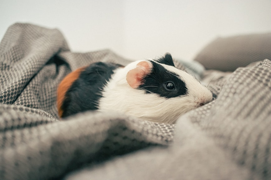How do you treat bumblefoot in guinea pigs