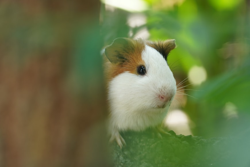 How to Prevent Your Guinea Pig from Developing a Future Case of Bumblefoot