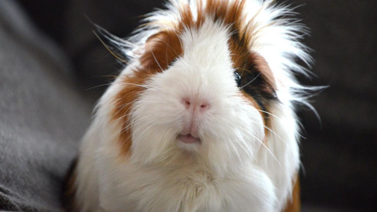 Read more about the article How to bathe a guinea pig?- Ultimate Guide 2021