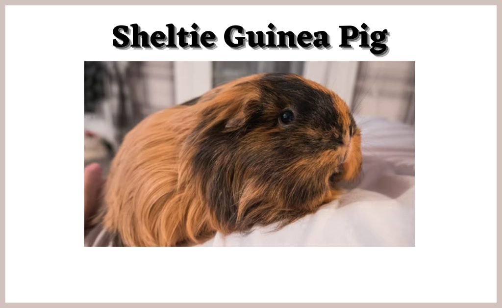 Read more about the article Sheltie Guinea Pig | Food | Safety | Sleep