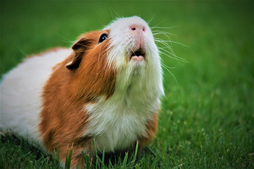 Treatment for a guinea pig with mites