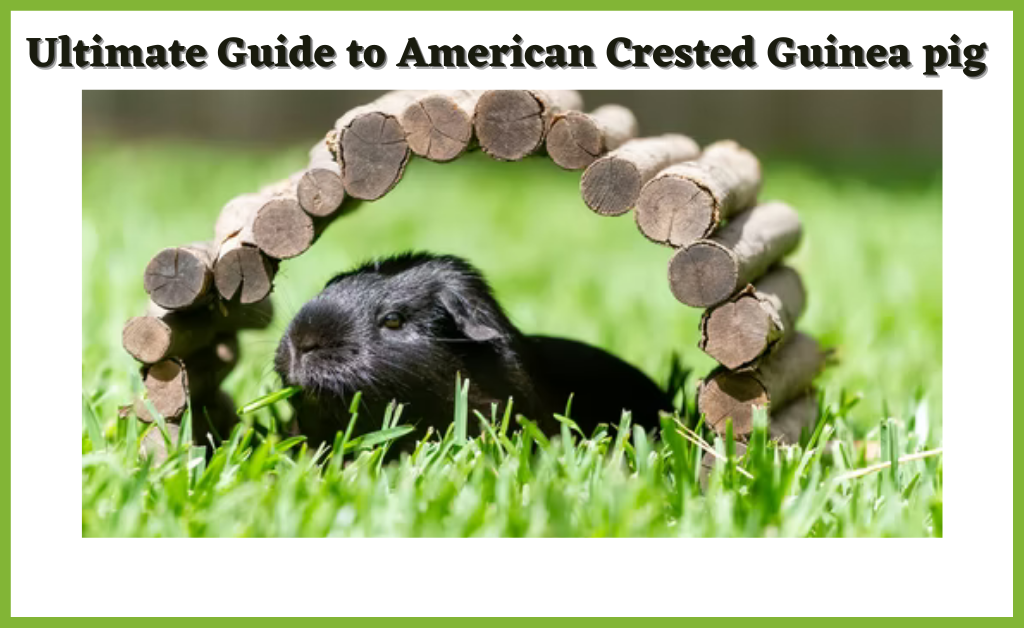 Read more about the article Ultimate Guide to American Crested Guinea pig (Cost, Care, Size, Lifespan, Personality)