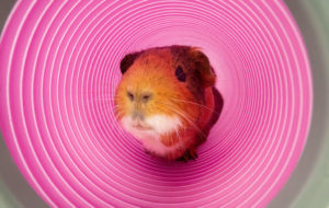 Read more about the article What Do Guinea Pigs Like To Play With? (Toys, Box , Cardboards etc)