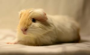 Read more about the article All you need to know about silkie guinea pigs.