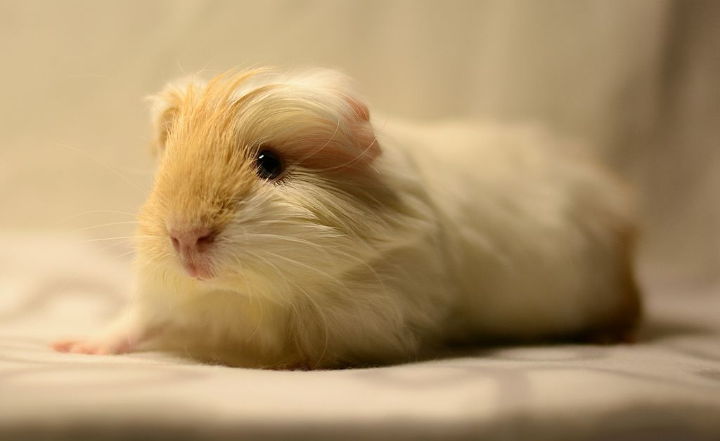 all you need to know about silkie guinea pigs.