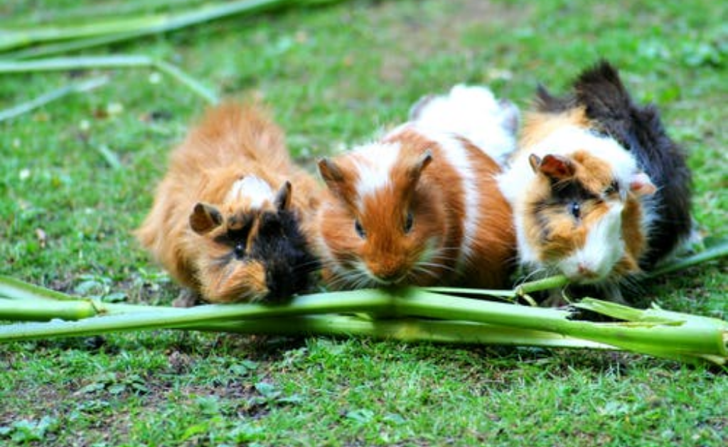 How do guinea pigs eat food without their upper incisors