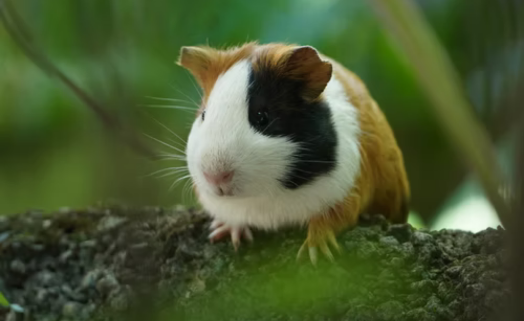 How do you know if your guinea pigs' teeth are growing too long