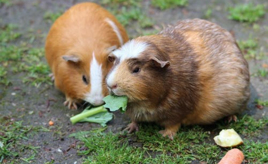 How many teeth do guinea pigs have