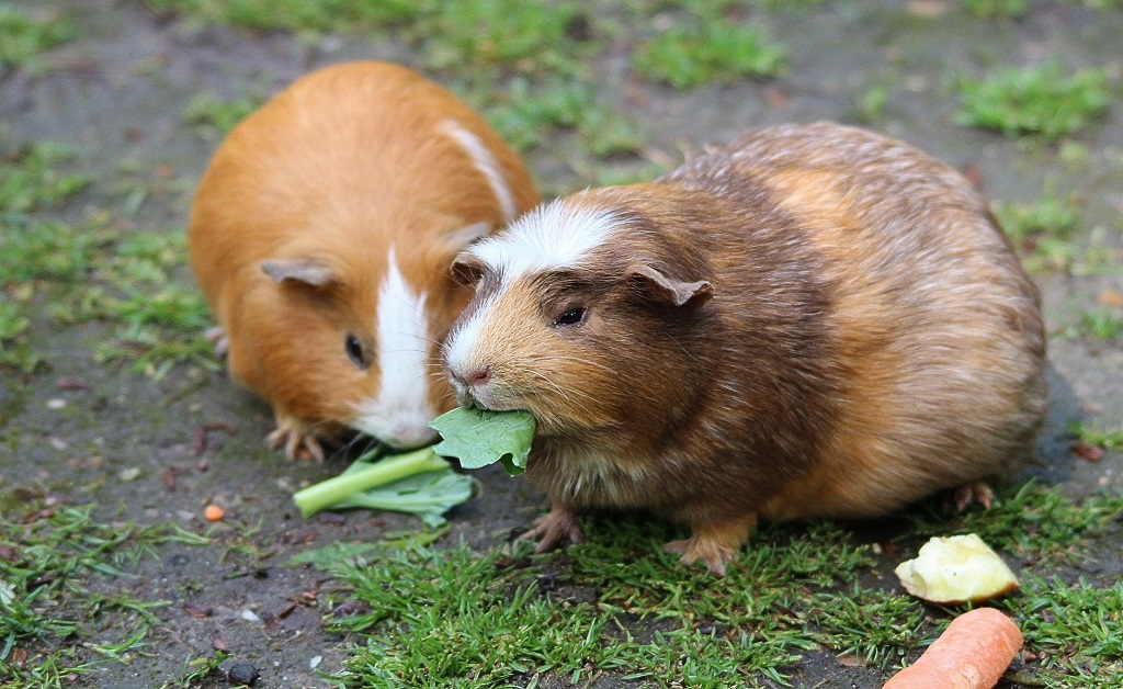Celery is an occasional treat for guinea Pigs