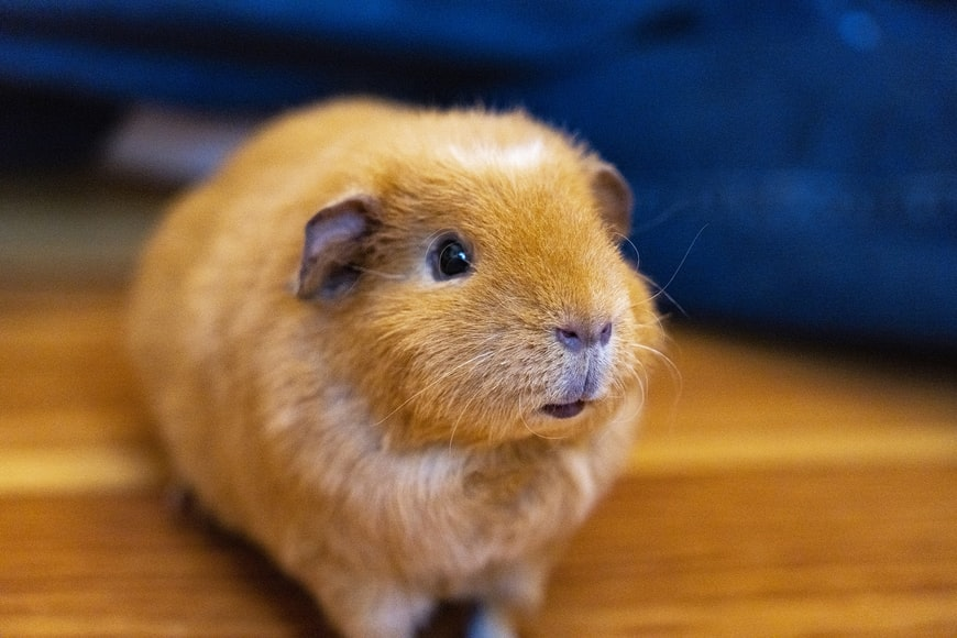 What is Bumblefoot in Guinea Pigs